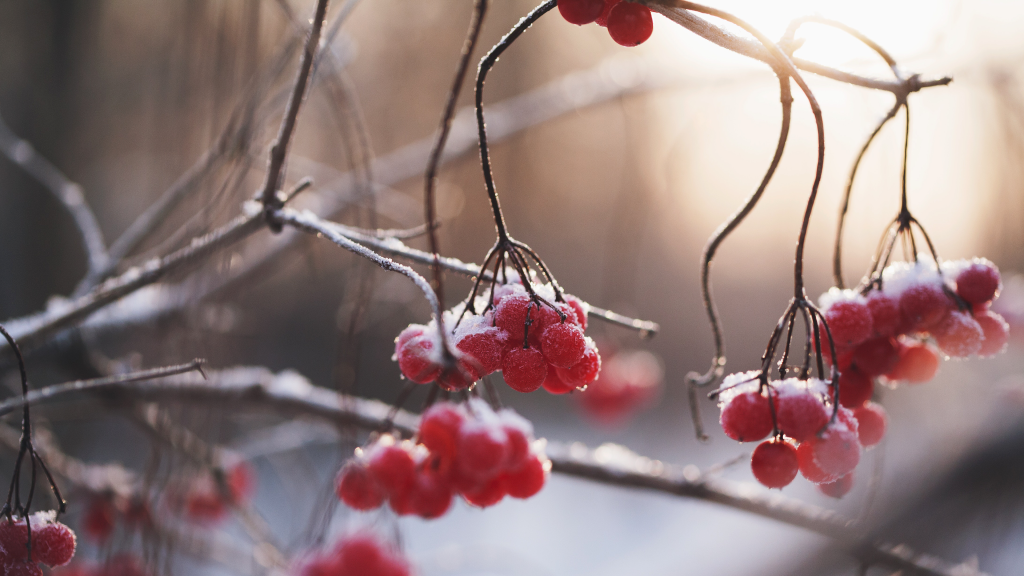 Winter Berries by Maria Shanina