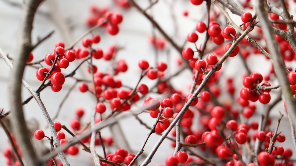Winter Berries by Andrew Walton