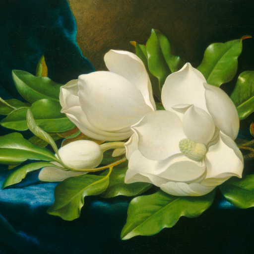 Giant Magnolias on a Blue Velvet Cloth by undefined