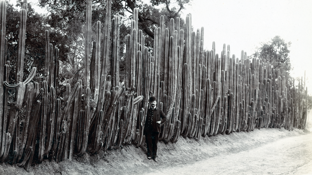 Great Organ Cactus Hedge by Mayo & Weed